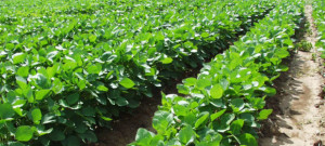 agric-soya-beans